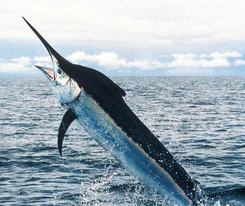 Меч-риба вистрибує з води