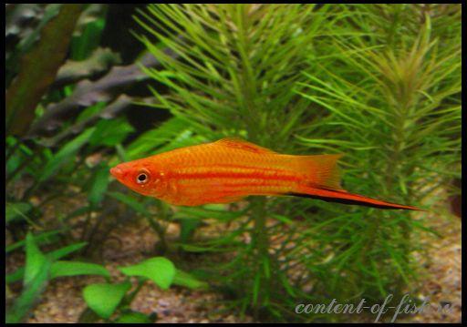 Меченосец - акваріумна рибка