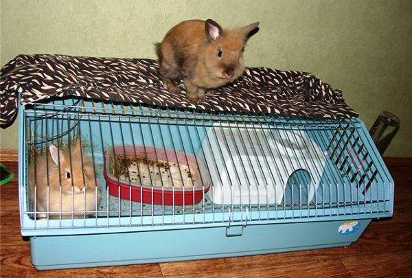 Любий вихованець - левоголовим кролик