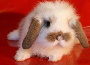 Милі і пухнасті: найкрасивіші декоративні кролики
