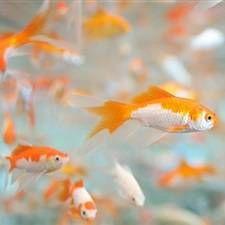 Міні-акваріум, рибки для маленьких акваріумів