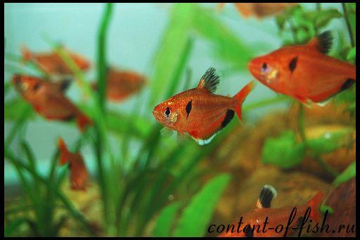 Мінор - акваріумна рибка