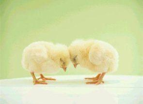 Мир і спокій в курнику - що робити, коли курчата клюють один одного