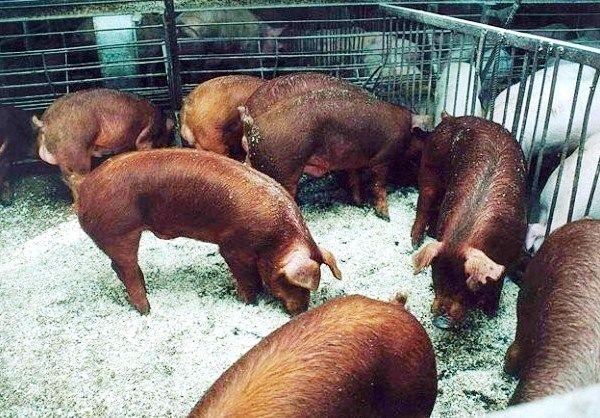 М`ясна американська порода дюрок - витривалі свинки