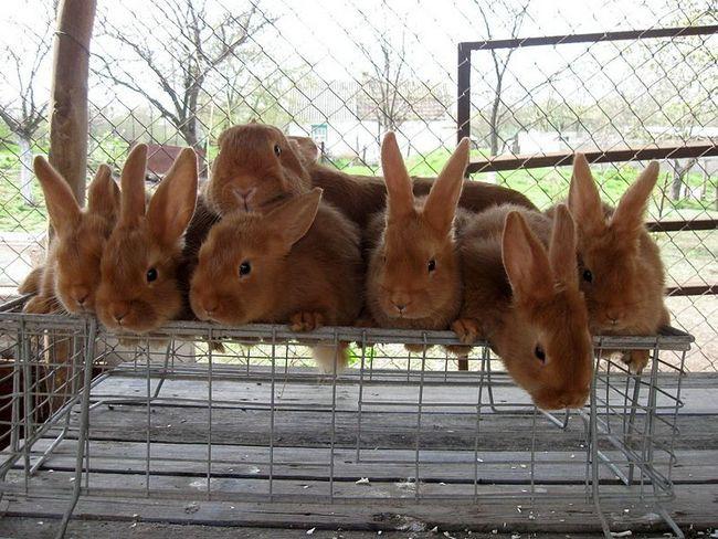 М`ясне кролівництво: вчимося правильно вирощувати кролів