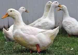 Породи качок »Домашні тварини та птахи - зміст, годування ...