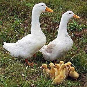 М`ясні породи качок