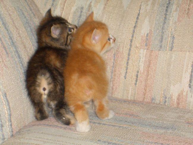 Кошенята менській породи
