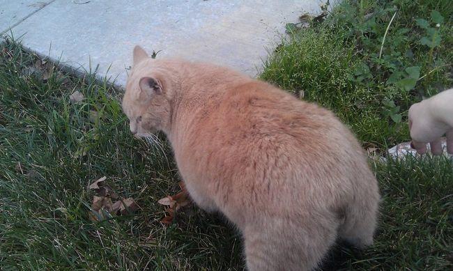 Хребет цих кішок дещо коротший, ніж у інших порід
