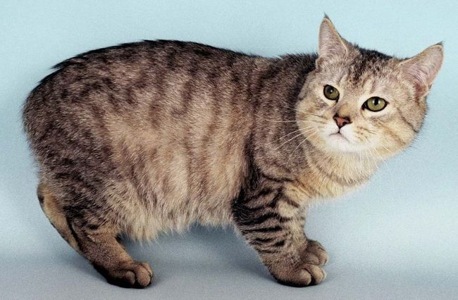 У Росії кішки не мають великої популярності