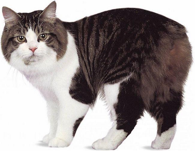 Для менській кішки також існують певні стандарти породи