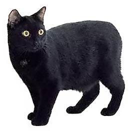 Менська безхвоста кішка (Менкс)