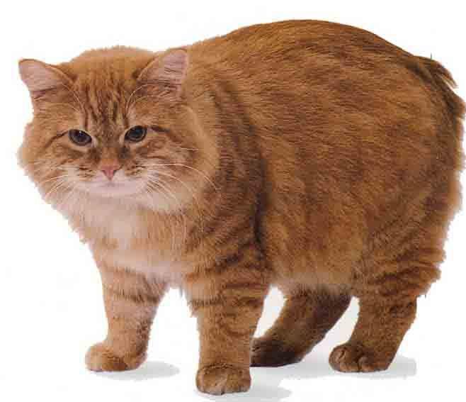 Менська порода кішок