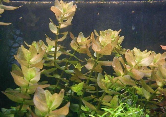 Багаторічна рослина бакопа - відмінний вибір для акваріума