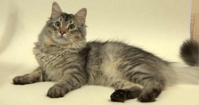 Мій ласкавий і ніжний кіт: 15 порід - 15 характерів