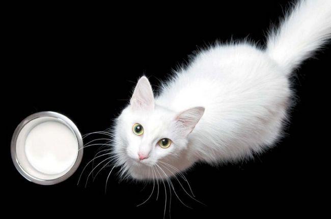 молоко для кішки