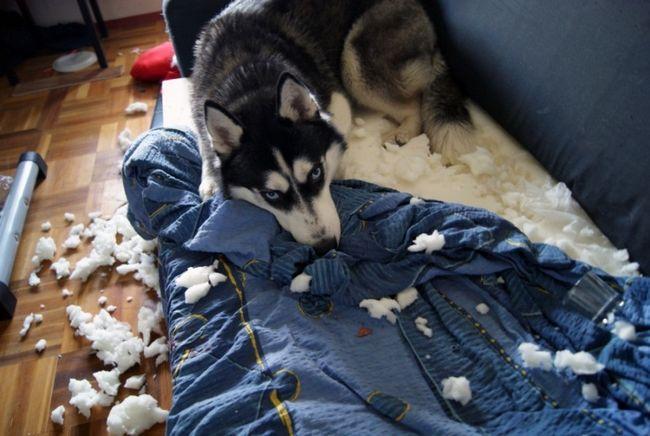 Хаскі від нудьги розлущив диван