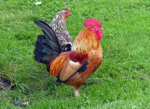 Чи може курка нести яйця без півня?