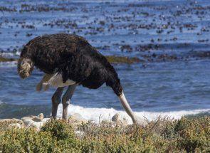 Чи може страус заховати голову в пісок - розвінчуємо міфи
