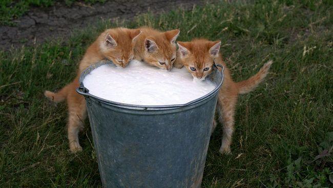 Чи можна давати кішці молоко