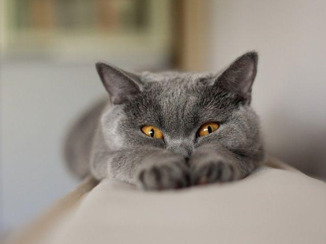 Британський кіт витягнув лапки