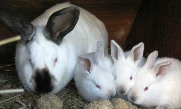 Чи можна годувати кроликів сирою картоплею, вареної і картопляним лушпинням?