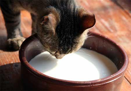 Чи можна кішок пити молоко