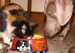 Кішка краде їжу у собаки