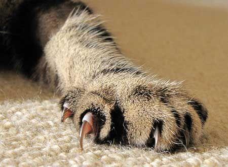 Чи можна видаляти кігті кішкам?