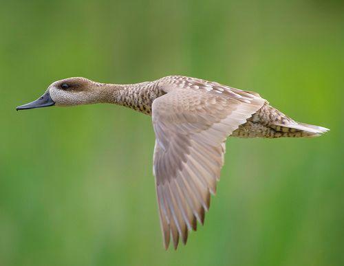 Мармуровий чирок в польоті