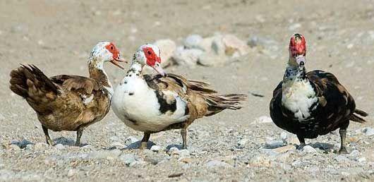 Мускусні качки