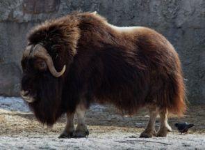 Мускусний бик - грізний представник арктичної тундри