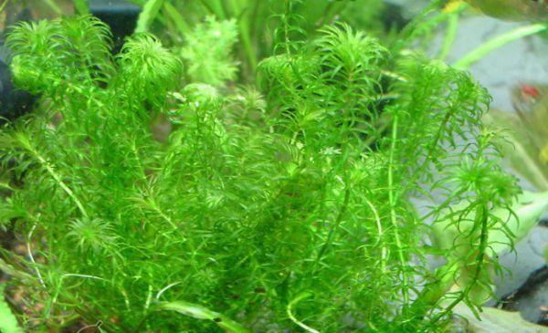 На замітку початківцям аквариумистам: самі невибагливі рослини
