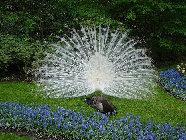 Національний символ індії або просто священний птах - павич білий