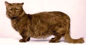 Манчкінская кішка