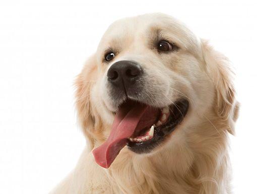 Лізуха у собаки
