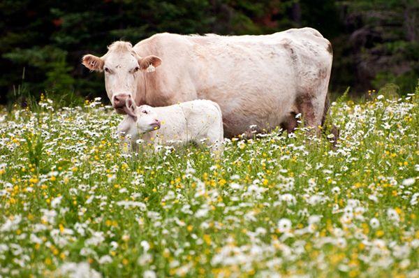 Біла корова і дитинча в поле