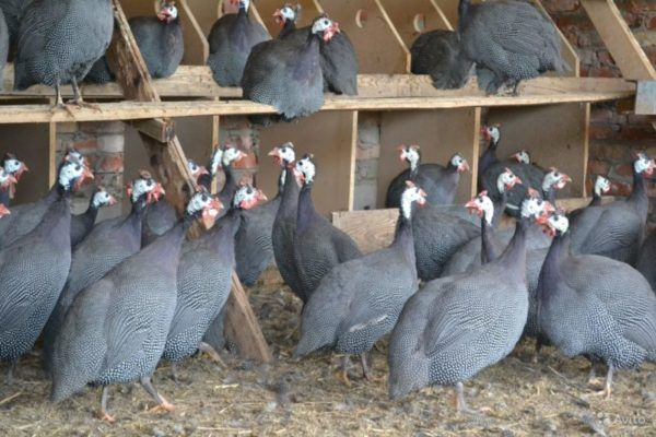 Не просто птах, а результат генетичного відбору - цесарка бройлерна