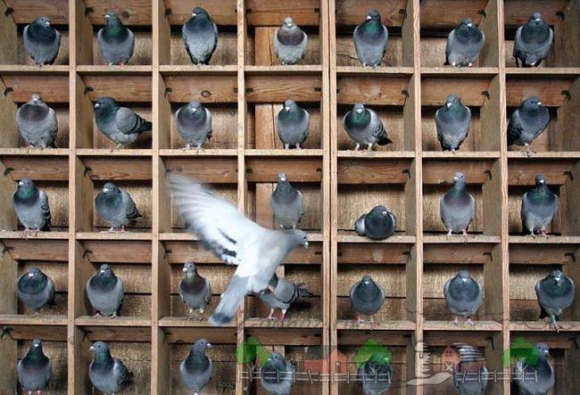 Небесні листоноші - поштові голуби