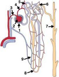 Нефрони сечовивідної системи кішок.