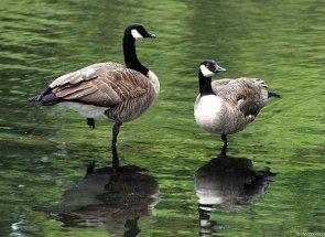 Деякі цікаві породи диких і домашніх гусей