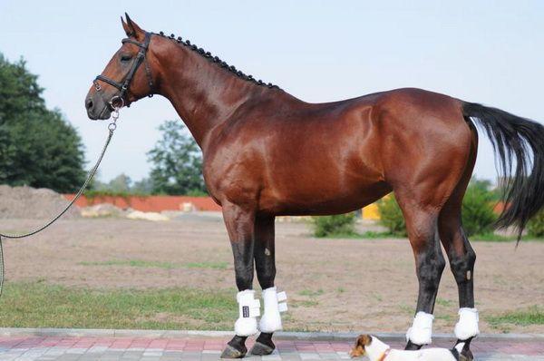 Ольденбурзька кінь крупним планом