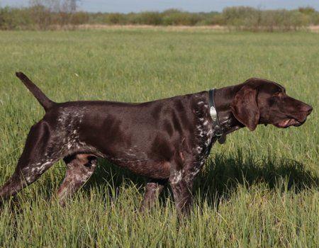 Німецькі мисливські собаки