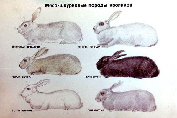 Незвичайні і красиві кролики велетні: опис і вирощування