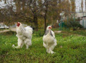 Незвичайні кури з бакенбардами: порода фавероль