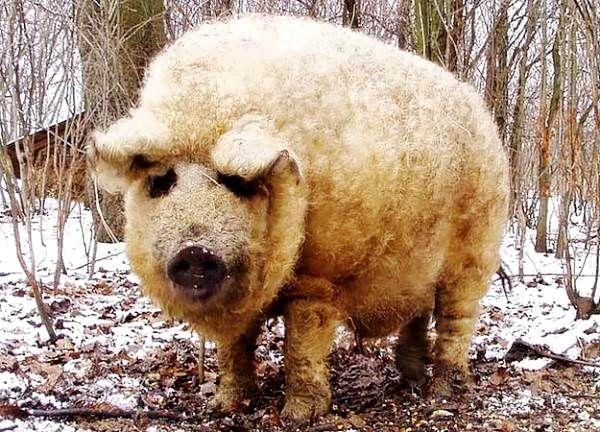 Незвичайні свині з розкішною шевелюрою мангалица угорська