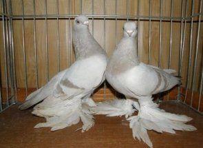 Незвичайні пернаті: все про узбецьких голубів