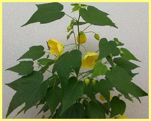 Невибагливі кімнатні рослини фото і назва