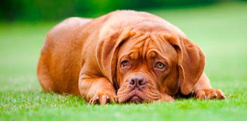 Мимовільне сечовипускання у собаки