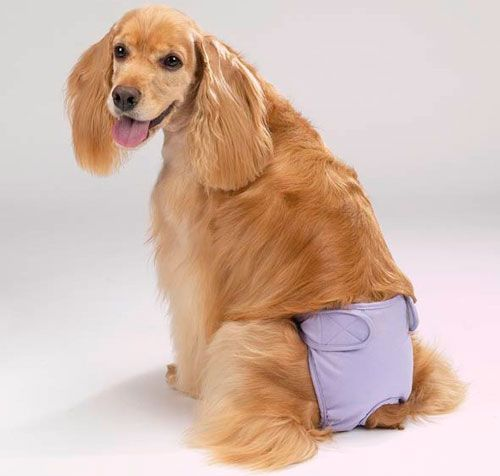 собака в підгузку
